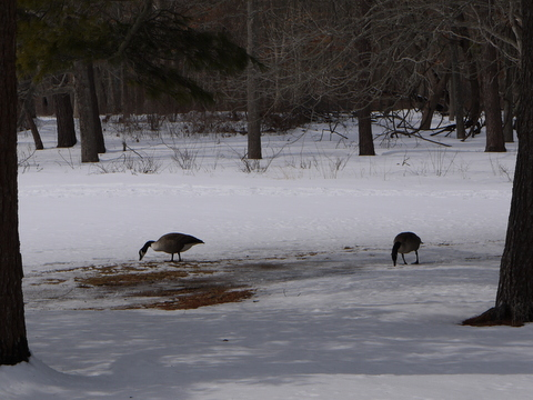Canadian geese, Connetquot River State Park Preserve, Suffolk County, New York