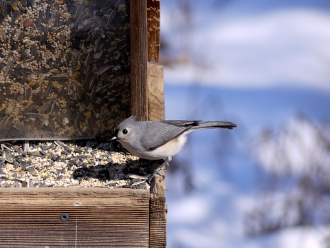 Tufted titmouse, Great Swamp National Wildlife Refuge, Morris County, New Jersey
