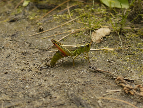 Red-legged grasshopper laying eggs, Moss Glen Falls, Stowe, Lamoille County, Vermont