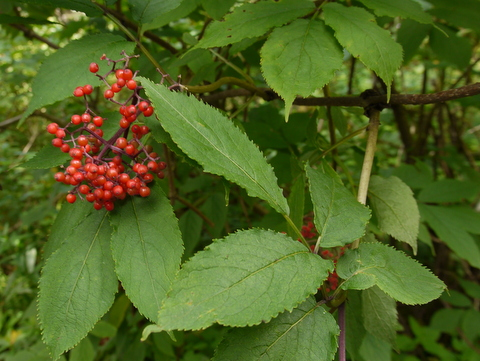 Red elderberry, Killington Peak, Rutland County, Vermont