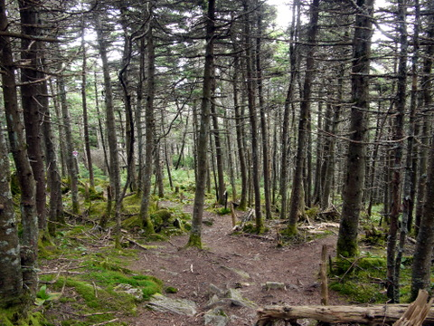 Forested area between summit and gondola terminal, Killington Peak, Rutland County, Vermont