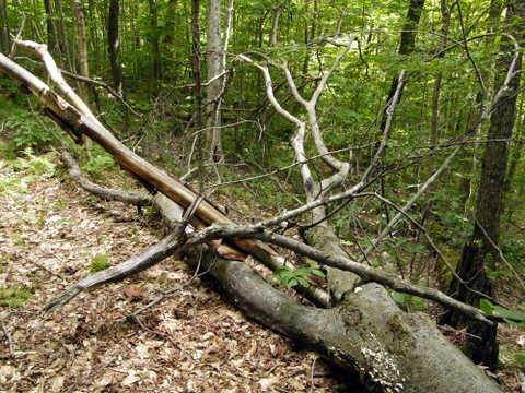 Fallen tree, Laraway Mountain, Long Trail State Forest, Lamoille County, Vermont