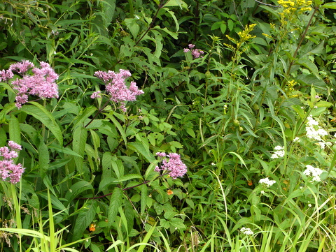 Wildflowers, Laraway Mountain, Long Trail State Forest, Lamoille County, Vermont