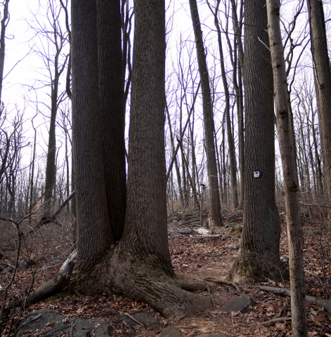 Triplet trees, Sourland Mountain Preserve, Somerset County, New Jersey