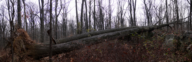 Fallen tree, Sourland Mountain Preserve, Somerset County, New Jersey