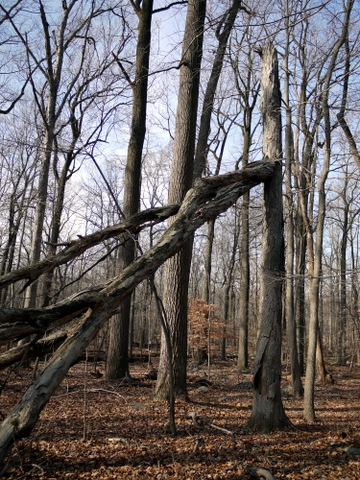 Broken snag, Sourland Mountain Preserve, Somerset County, New Jersey