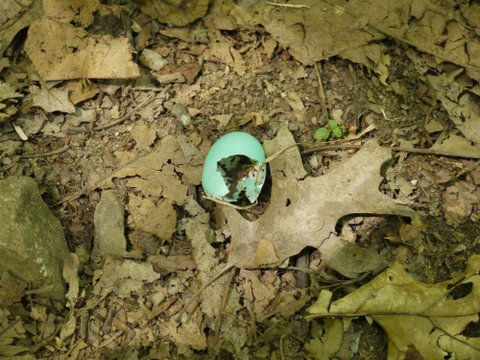 Robin egg shell, Allamuchy Mountain State Park, Sussex County, New Jersey