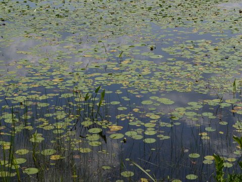 Water lilies in Deer Park Pond, Allamuchy Mountain State Park, Sussex County, New Jersey