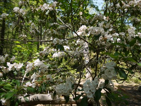 Mountain laurel, Trout Brook Valley State Park Preserve, Fairfield County, Connecticut