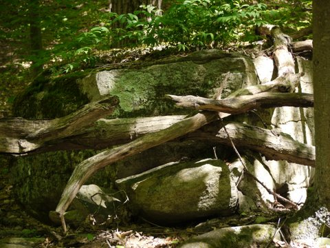 Fallen trees, Trout Brook Valley State Park Preserve, Fairfield County, Connecticut