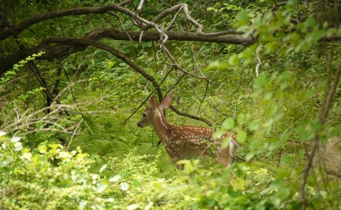 Fawn, Harriman State Park, Orange County, New York