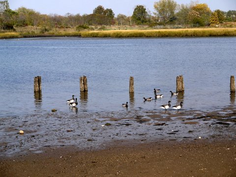 Pale-bellied brant geese, Marine Park, Brooklyn (Kings County), New York