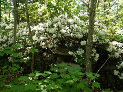Mountain laurel, Kaaterskill Wild Forest, Greene County, New York
