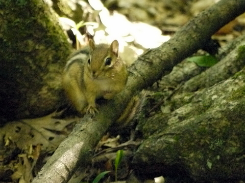 Chipmunk, Kaaterskill Wild Forest, Greene County, New York