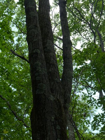 Triplet tree, Kaaterskill Wild Forest, Greene County, New York