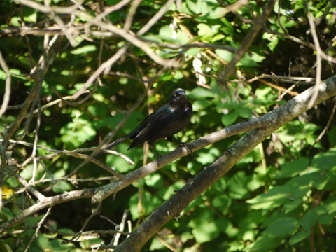 Common grackle, Mashomack Preserve, Suffolk County, New York