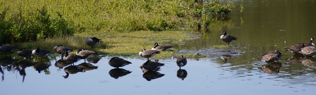 Canadian geese, Mashomack Preserve, Suffolk County, New York