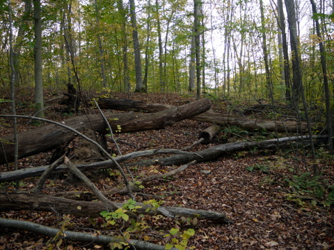 Fallen trees, Ringwood State Park, Passaic County, New Jersey
