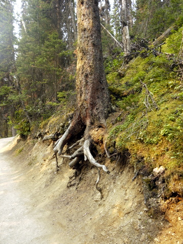 Dead tree in eroded bank, Banff National Park, Alberta, Canada