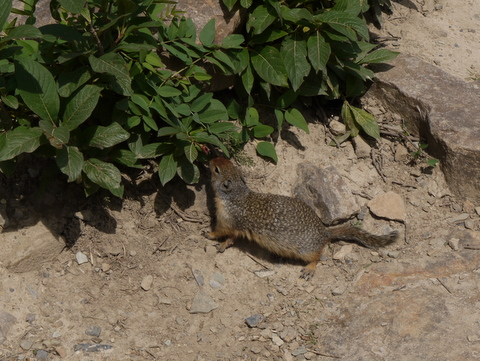 Young Colombian Ground Squirrel, Banff National Park, Alberta, Canada
